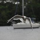 Gull looking for scraps on lake windermere by lee  adam