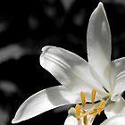 White lily with yellow stamens against dark background by wildrain