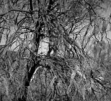 Scary Trees- Black Hill Sheoaks by Ben Loveday