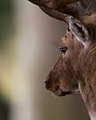 Resting Fallow Stag by Neil Bygrave (NATURELENS)
