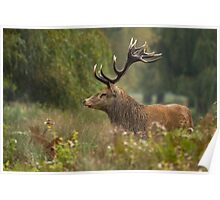 Stag in the Rain Poster