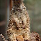 Meerkat on Lookout by sbarnesphotos