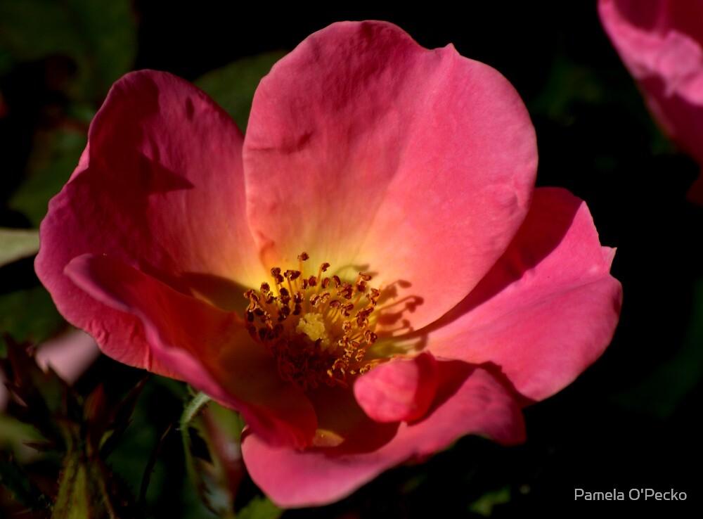 Knockout Rainbow Rose by Pamela O'Pecko