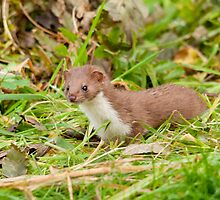 Weasel ~ Mustela nivalis by M.S. Photography/Art