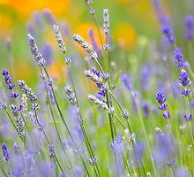 Lavender Dream  by Sarah-fiona Helme