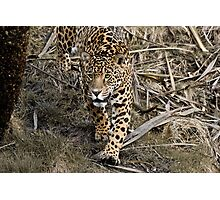 Jaguar Photographic Print