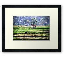 Morning at rice fields Framed Print