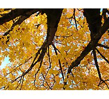 Yellow Autumn Trees prints Golden Fall Leaves Photographic Print