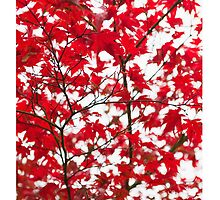 Japanese Maple in Autumn by Tim McGuire