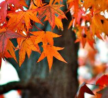Sweetgum Fall by Bron Praslicka
