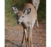 Curious white-tailed deer Photographic Print