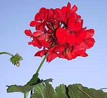 """""""Geranium"""", Pelargonium by SophiaDeLuna"""