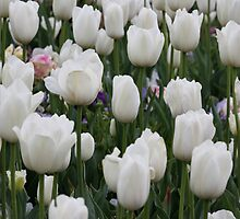 White IPhone Cover of Tulips by Kelly Robinson