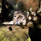 Sleepy Snow Leopard by Sandra Chung