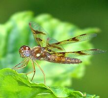 Old Amberwing Photo by William Brennan