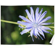 """""""Wild Flower"""" Cichorium intybus  Poster"""