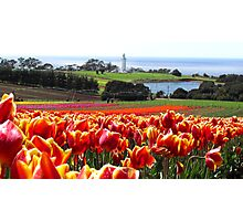 Table Cape Tulips Photographic Print