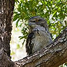 Tawny Frogmouth trying to rest by Peter Smith