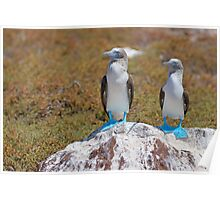 Two Blue-footed Boobies on a rock Poster