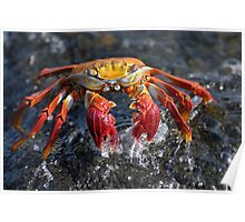 Sally Lightfoot Crab (Grapsus grapsus), in water Poster