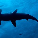 Scalloped Hammerhead shark (Sphyrna lewini), underwater view by Sami Sarkis