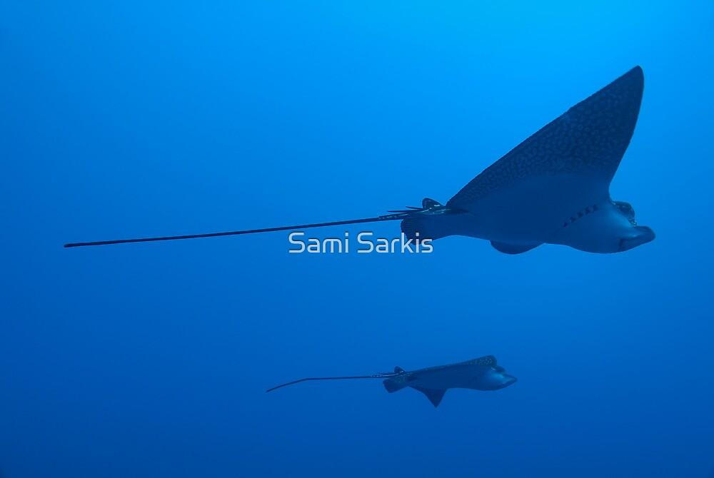Two Spotted Eagle rays (Aetobatus narinari), underwater view by Sami Sarkis