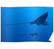 Two Spotted Eagle rays (Aetobatus narinari), underwater view Poster