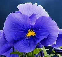 Blue Viola/Pansy Smiley Face by AnnDixon