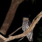 Powerful Owl looking for Brush-tail Possums by Peter Smith