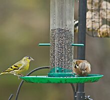 Siskin and Chaffinch by Jamie  Green