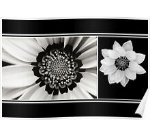 Black and White Gazania Diptych Poster