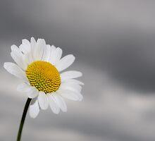 White daisy on stormy sky by Sami Sarkis