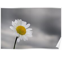 White daisy on stormy sky Poster