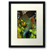 Golden Tail Moray Framed Print