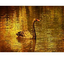 Black swan on golden water Photographic Print