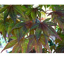 Green Maple Photographic Print