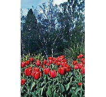 Spring Tulips—Kodachrome 64 Photographic Print