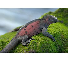 Marine Iguana on rock covered with green seaweed Photographic Print