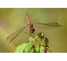 Little Ruby Meadowhawk Photographic Print