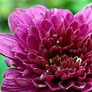 Stunning Pink by PatChristensen