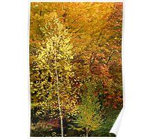 Our Backyard Birches, Roxbury, CT Poster