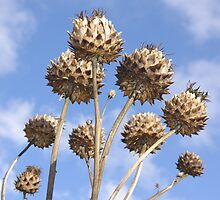 Seedheads by sbarnesphotos