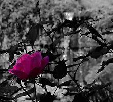 Selective Colored Rose by MJD Photography  Portraits and Abandoned Ruins