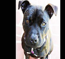 Staffordshire Bull Terrier by Evita