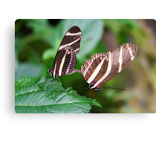 Mating Zebra Longwing - Heliconius charithonia Canvas Print
