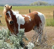 Pinto Pony by teresalynwillis