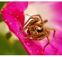 wolf spider and morning glory Photographic Print