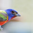 Painted bunting by Mundy Hackett