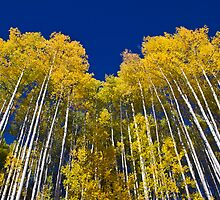 Aspens Pointing to the Big Blue Yonder by Paul Gana
