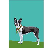 A Boston Terrier Winter Photographic Print